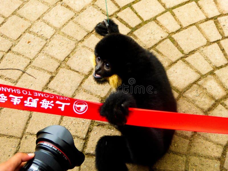 Olhar fixamente com crista do Cao-vit Gibbon imagem de stock royalty free