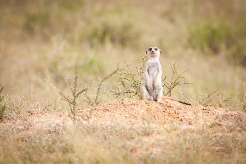Olhar fixamente curioso do meerkat imagem de stock royalty free