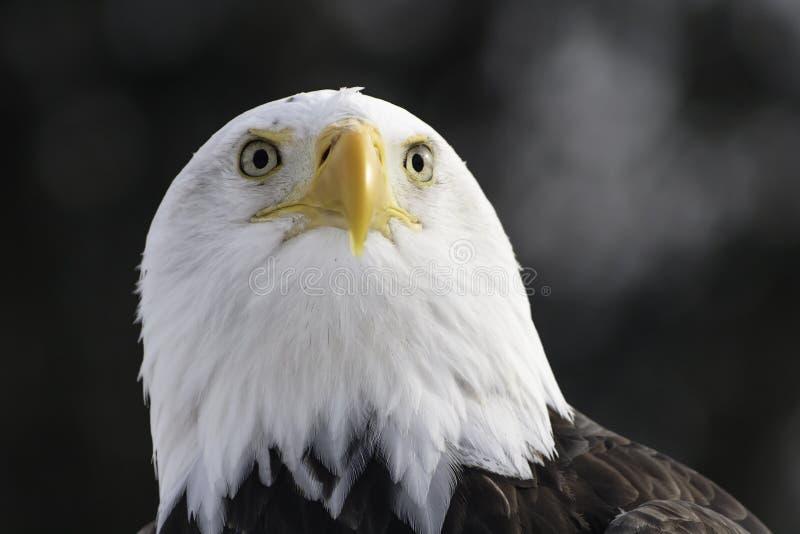 Olhar fixamente da águia americana fotos de stock royalty free