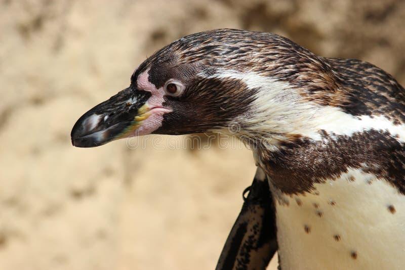 Olhar fixamente do pinguim imagem de stock