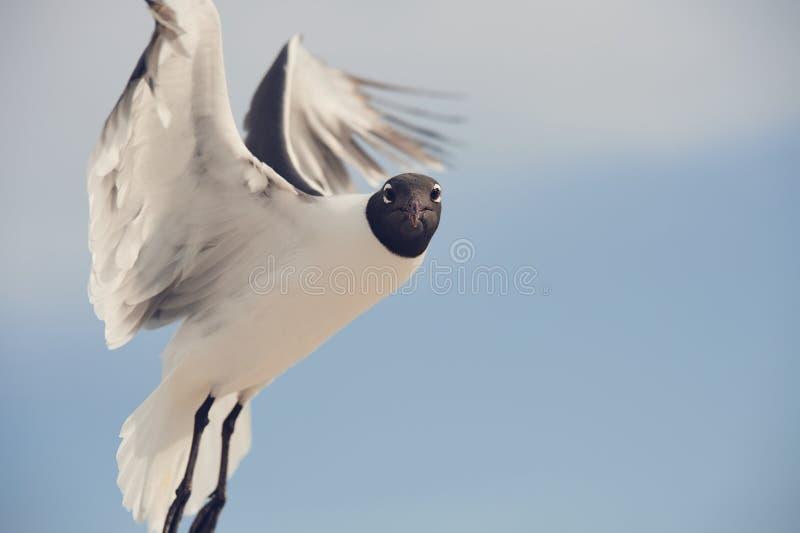Olhar fixamente engraçado da ave marinho foto de stock royalty free