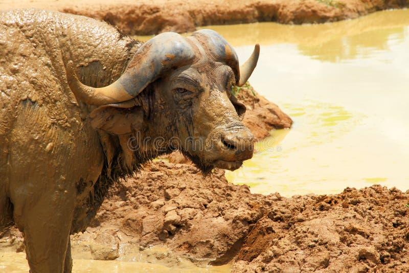 Olhar fixo da câmera do búfalo do cabo imagens de stock