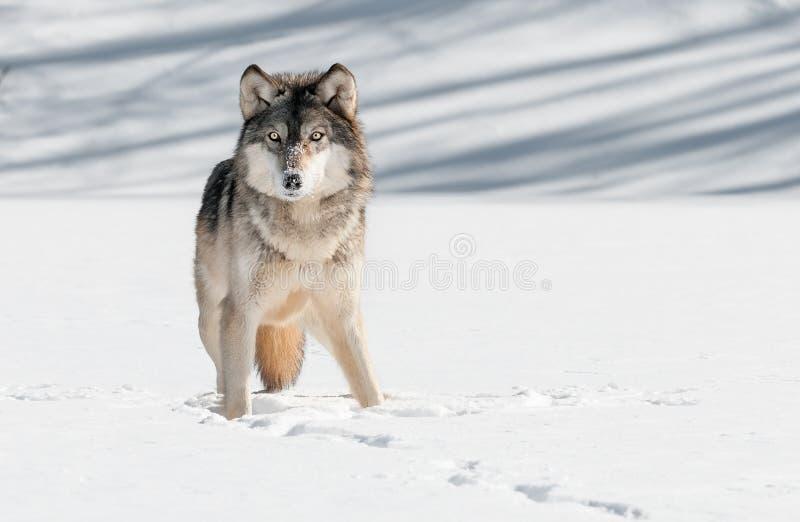 Olhar fixo de Grey Wolf (lúpus de Canis) fotografia de stock royalty free