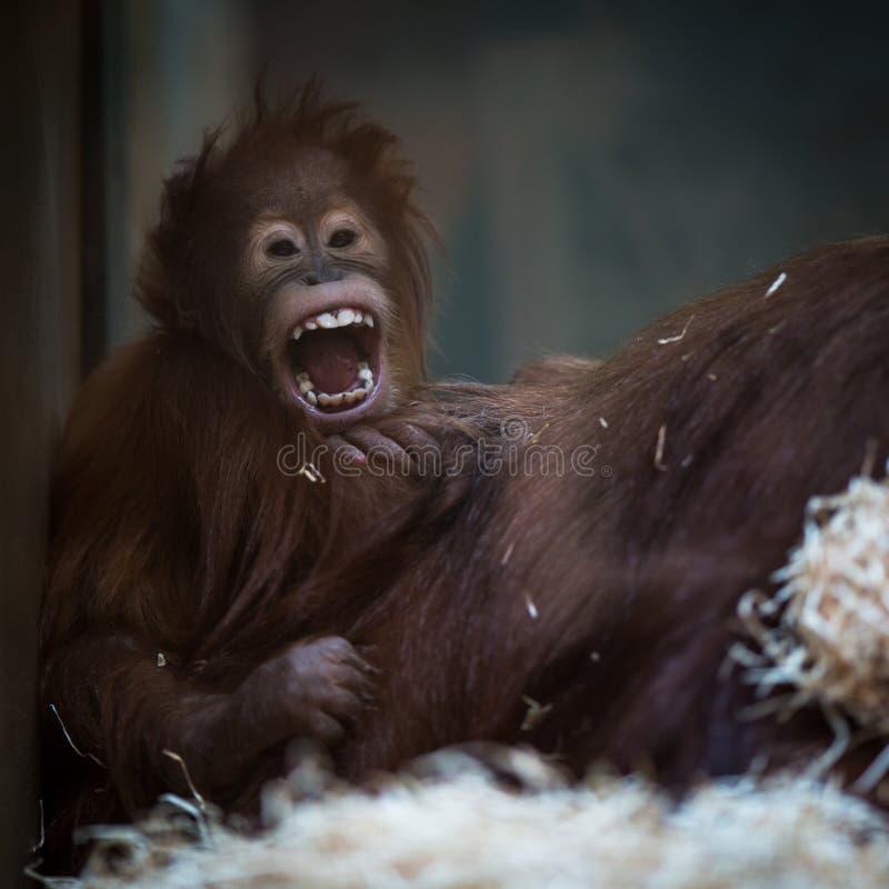 Olhar fixo de um bebê do orangotango, pendurando na corda grossa fotos de stock