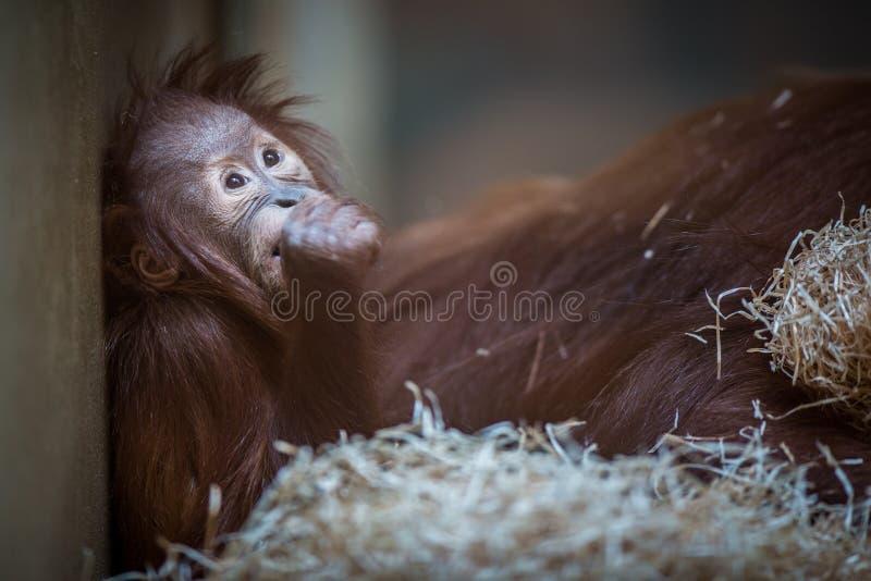 Olhar fixo de um bebê do orangotango, pendurando na corda grossa fotografia de stock royalty free