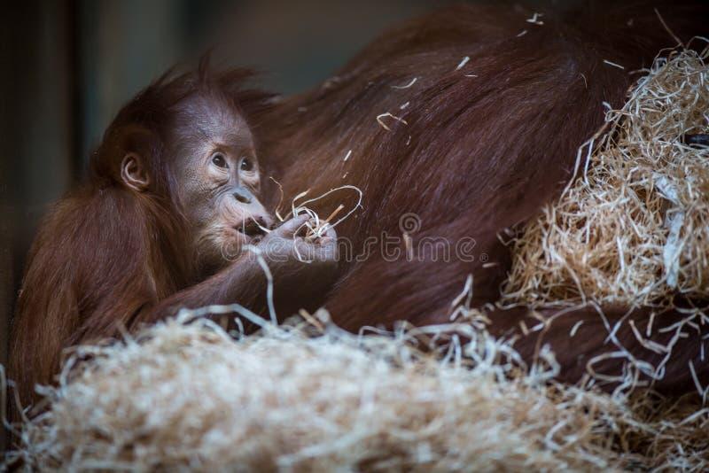 Olhar fixo de um bebê do orangotango, pendurando na corda grossa imagens de stock royalty free