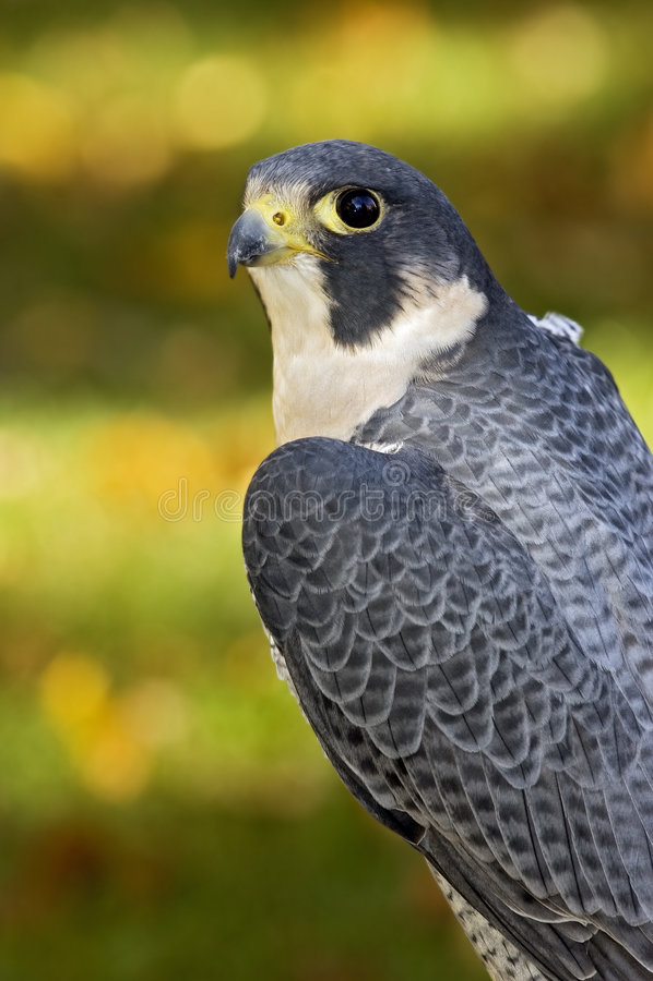 Olhar fixo do falcão do peregrino (peregrinus do Falco) fotos de stock