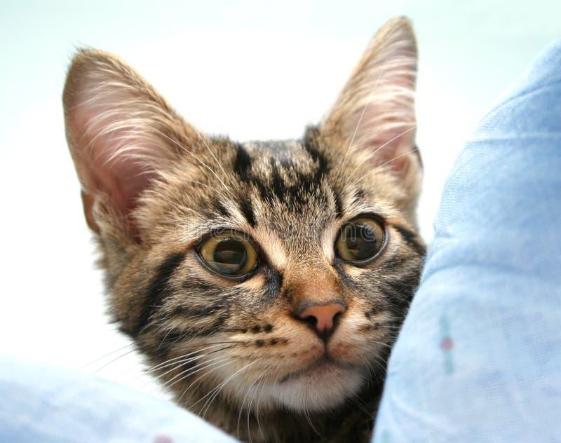 Olhar fixo do gatinho imagens de stock