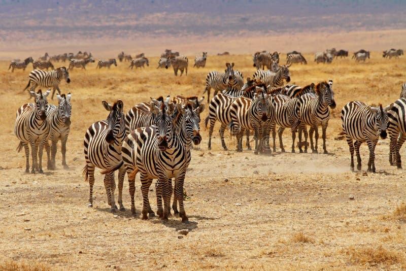 Olhar fixo do rebanho da zebra fotografia de stock royalty free