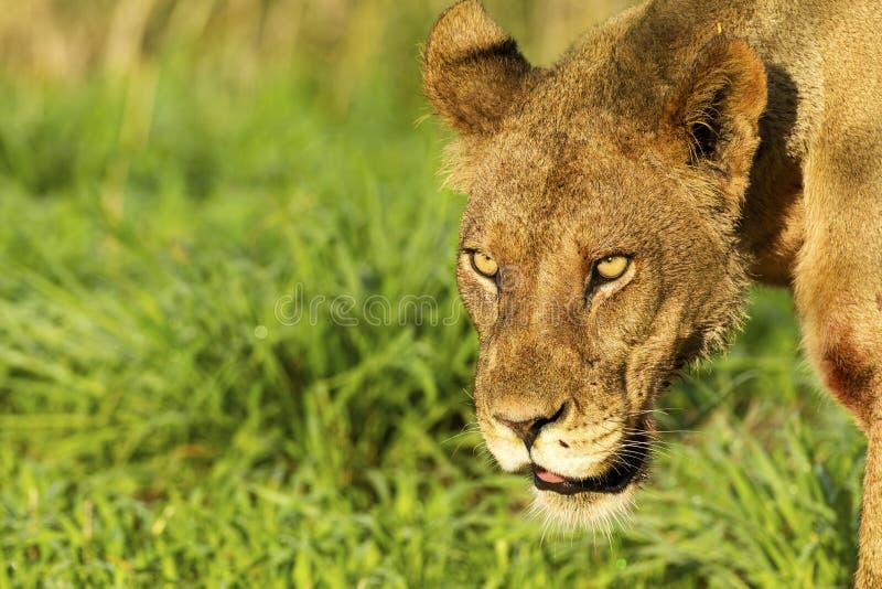 Olhar fixo intenso de uma leoa foto de stock