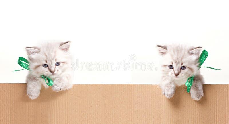 Dois gatinhos pequenos olham para fora da caixa fotografia de stock