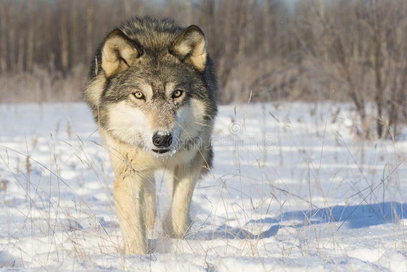 Olhar muito intenso do lobo de madeira imagem de stock royalty free