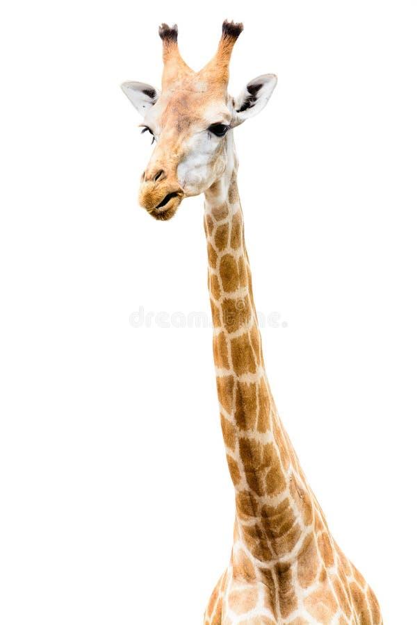 Olhar principal da cara do girafa engraçado imagem de stock royalty free