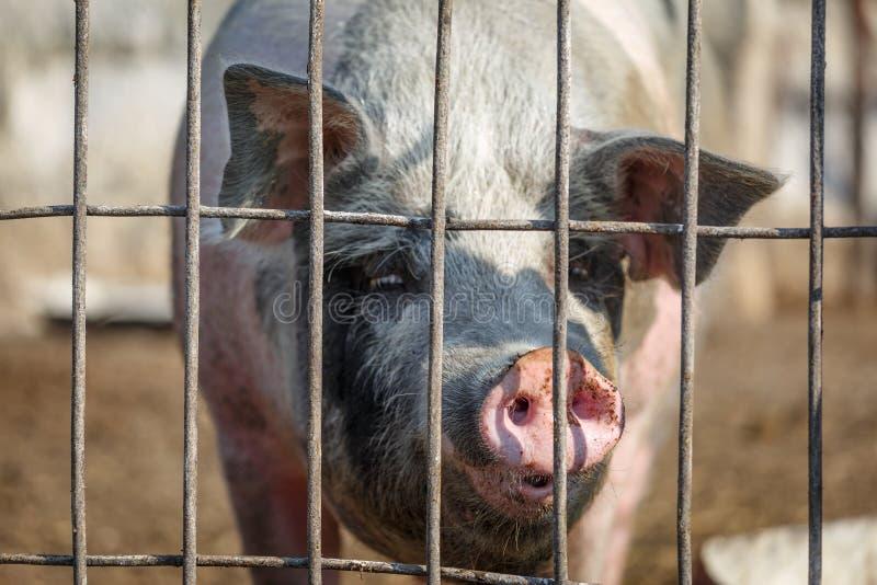 Olhar só triste do porco através das barras de metal Fazenda de cria??o Ind?stria da carne Conceito dos direitos de animais foto de stock royalty free