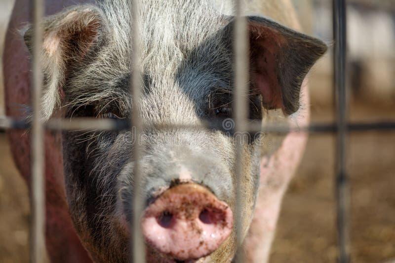 Olhar só triste do porco através das barras de metal Fazenda de cria??o Ind?stria da carne Conceito dos direitos de animais fotografia de stock