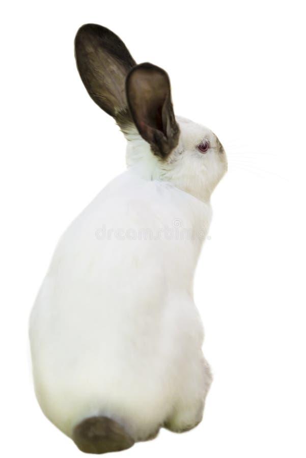 Olhares animais macios engraçados bonitos do coelho foto de stock royalty free
