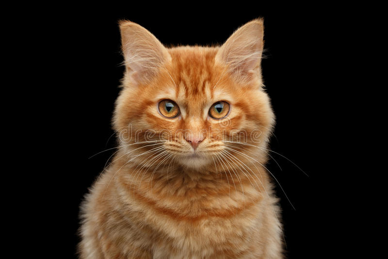 Olhares de Ginger Kurilian Bobtail Cat Curious do close-up, fundo preto foto de stock