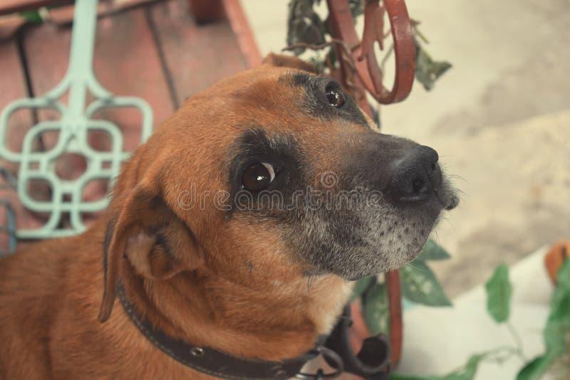 Olhares do cão nos olhos do proprietário foto de stock royalty free