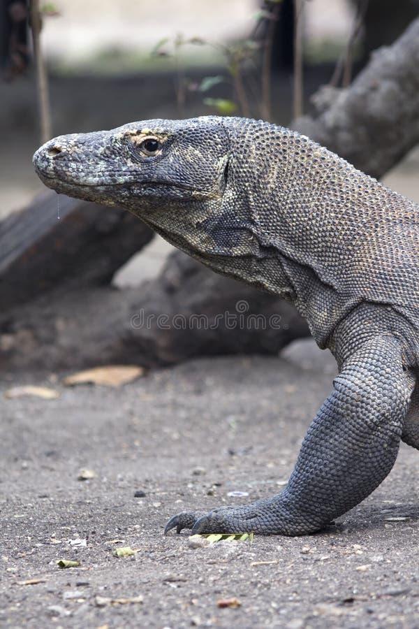 Olhares do dragão de Komodo que ameaçam na câmera fotografia de stock royalty free