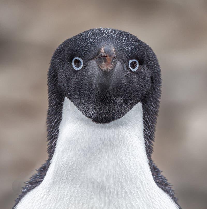 Olhares do pinguim de Adelie diretamente na câmera fotos de stock