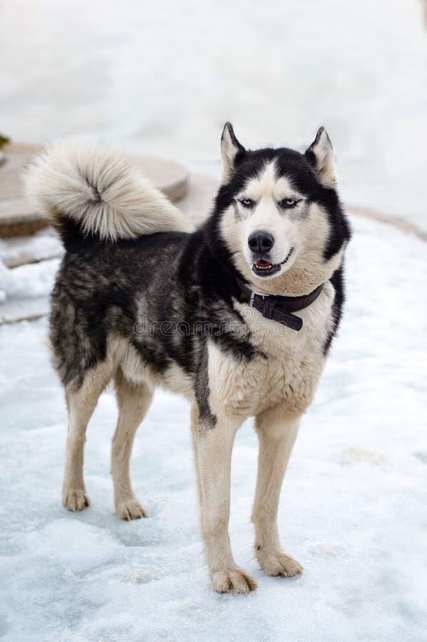 Olhares dos cães de puxar trenós na distância imagem de stock royalty free