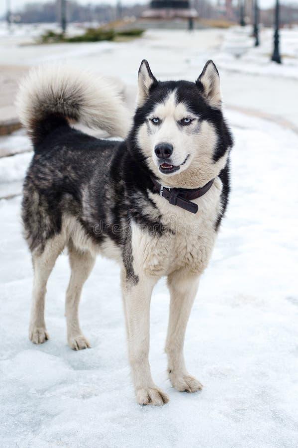 Olhares dos cães de puxar trenós na distância fotos de stock royalty free