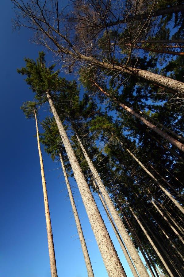 Olhe acima na floresta do pinho imagens de stock royalty free