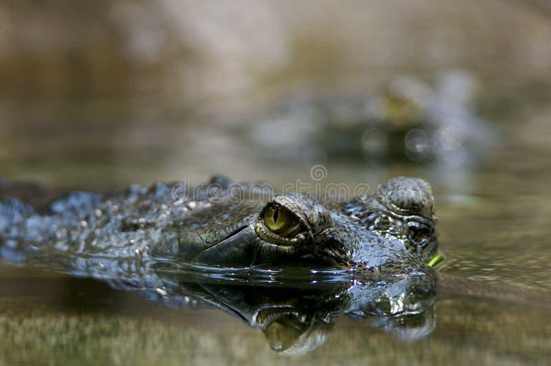 Olhe de um crocodilo fotografia de stock