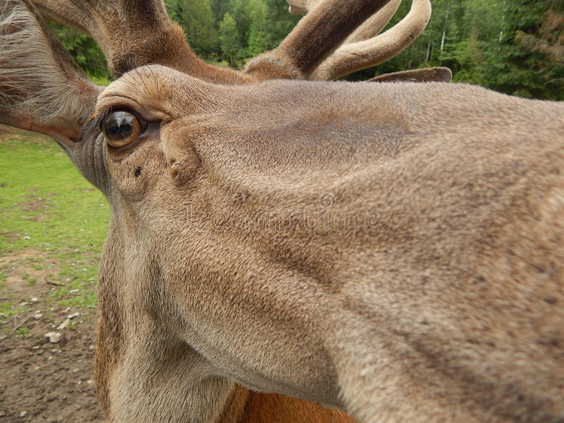 Olhe em meus olhos grandes vazios e bonitos Cervos:) imagem de stock royalty free