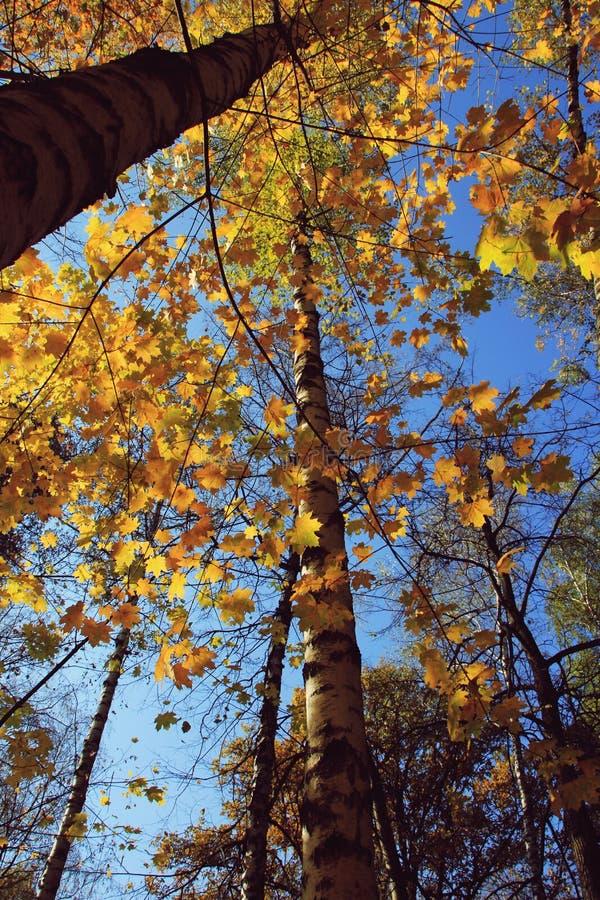 Olhe o céu da parte inferior através da árvore imagem de stock