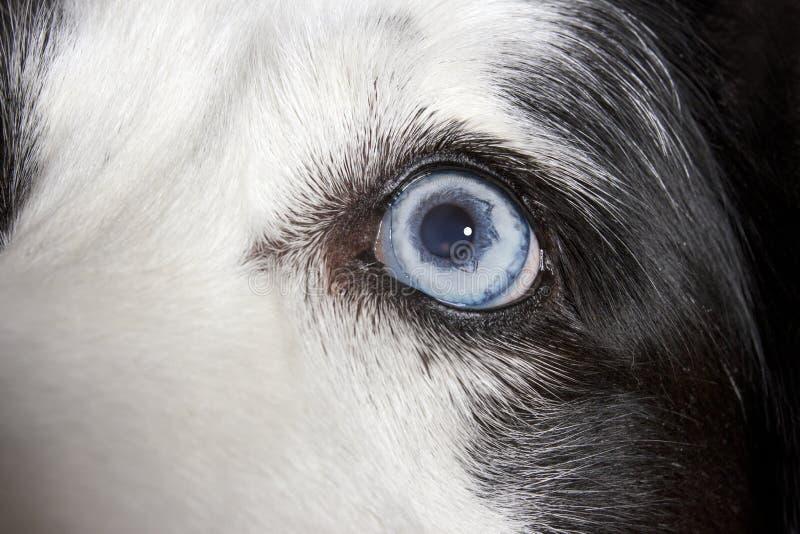 Olho azul do diamante de border collie imagem de stock