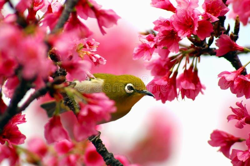 Olho branco japonês em uma árvore da flor de cereja
