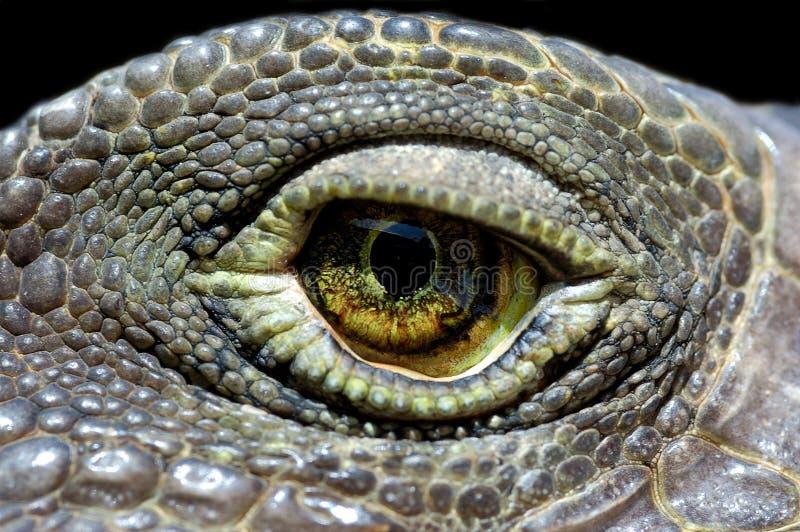 Olho da iguana imagens de stock