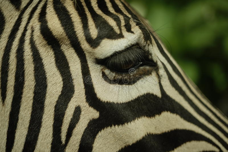 Olho da zebra imagens de stock royalty free