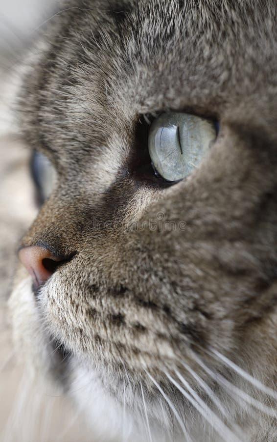 Olho de gato afiado fotos de stock