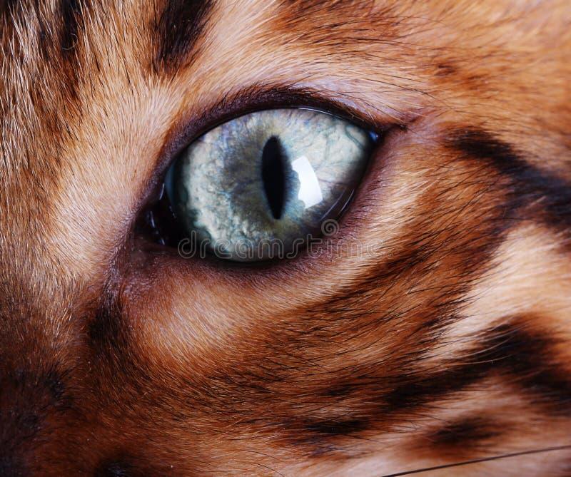 Olho de gato de Bengal fotografia de stock royalty free