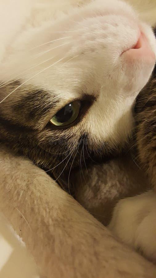 Olho de gato espreitando de cabeça para baixo fotografia de stock