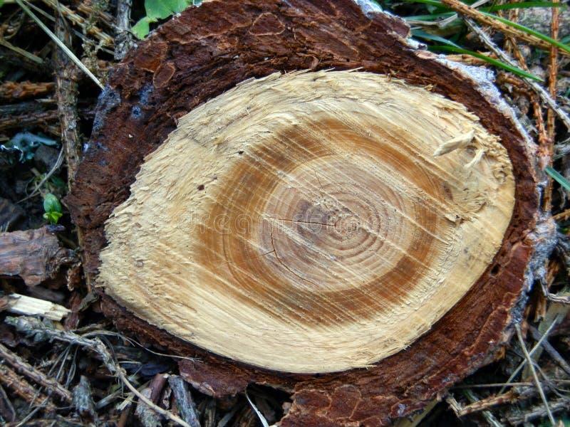 Olho de madeira da madeira de pinho foto de stock royalty free