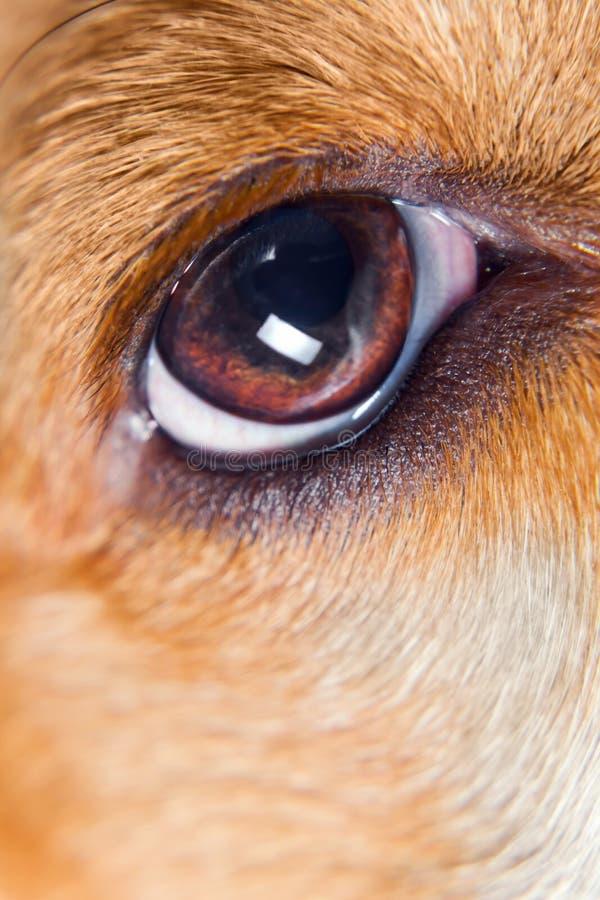 Olho de um cão imagem de stock