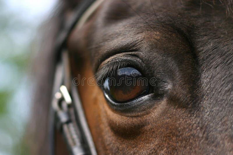 Olho do cavalo fotos de stock