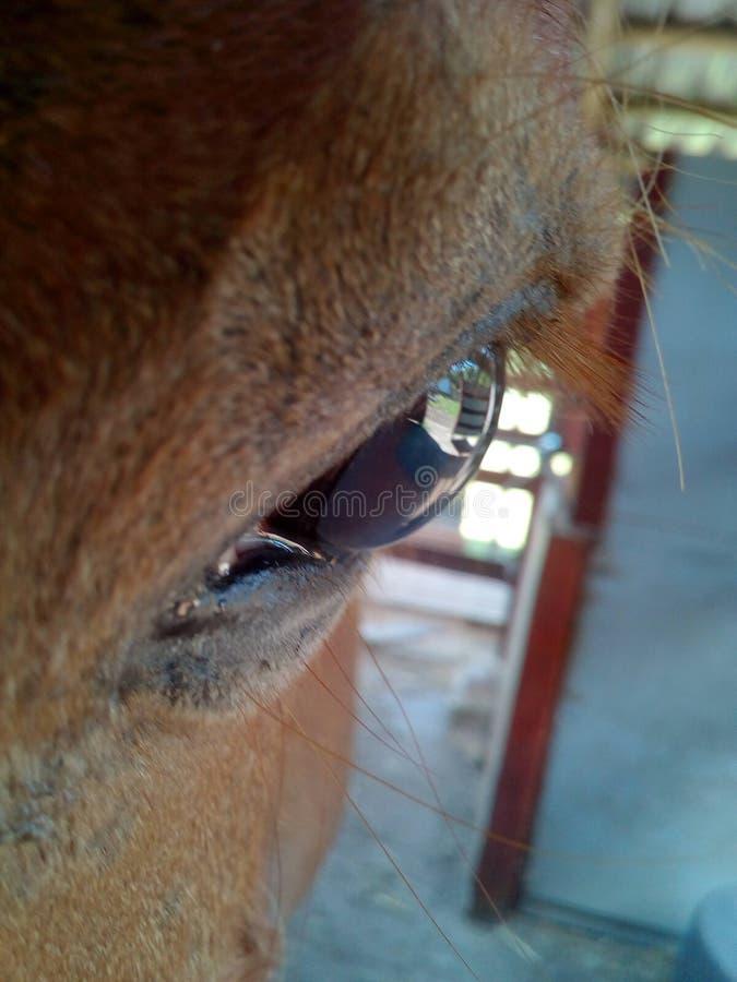 Olho do cavalo foto de stock royalty free