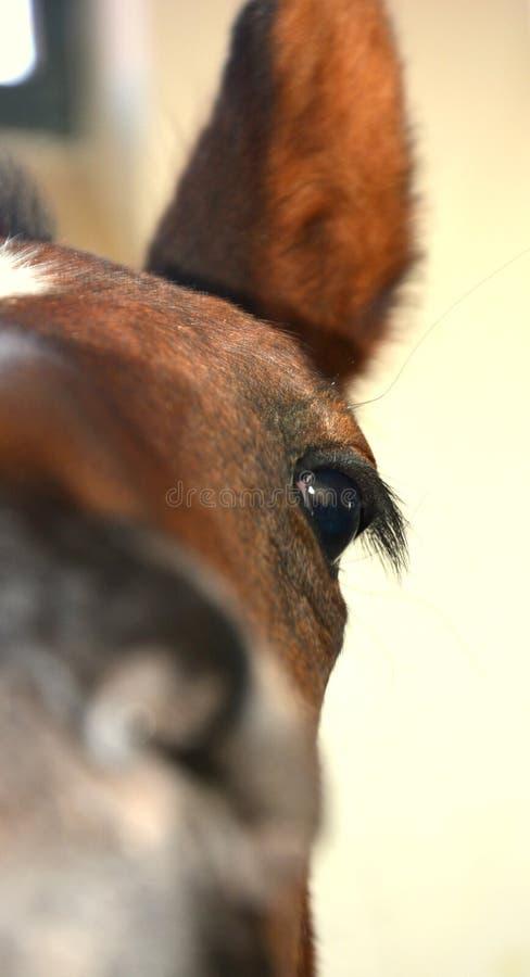 Olho do cavalo da beleza no celeiro imagem de stock royalty free