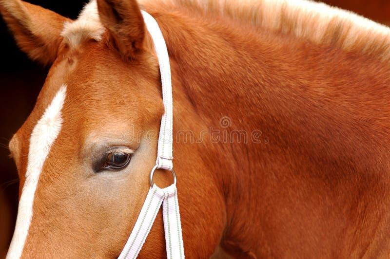 Olho do cavalo na obscuridade foto de stock
