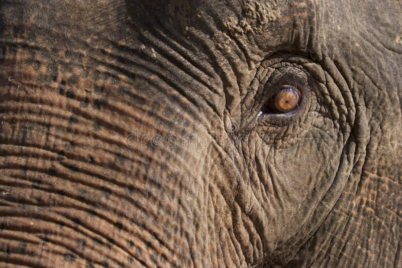 Olho do elefante fotografia de stock
