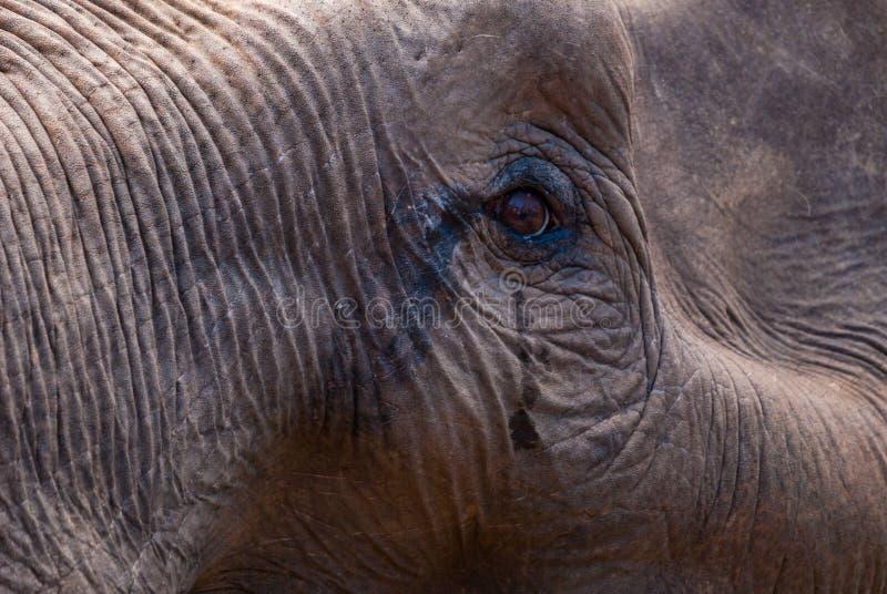 Olho do elefante, fim acima fotos de stock royalty free