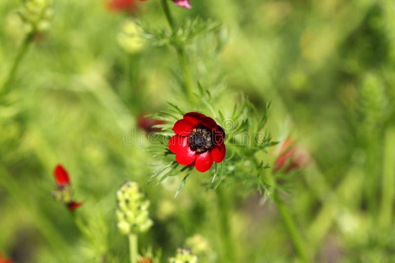 Olho dos faisão do verão da flor fotografia de stock royalty free