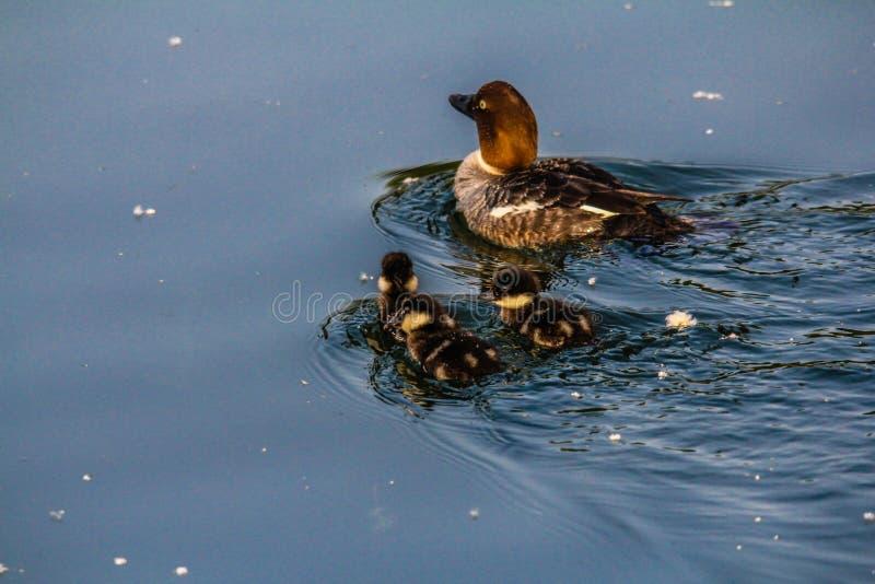 Olho dourado, santuário de pássaro de Inglewood, Calgary, Alberta, Canadá imagem de stock royalty free