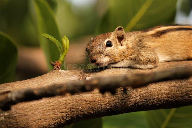 Olho e mustach da natureza e Searchings do esquilo para o alimento fotos de stock