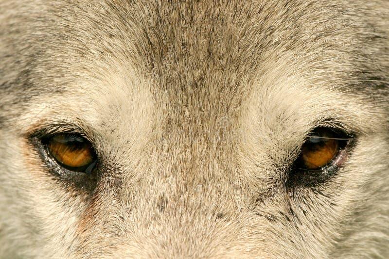 Download Olho a eye foto de stock. Imagem de animal, olhos, caçador - 532166