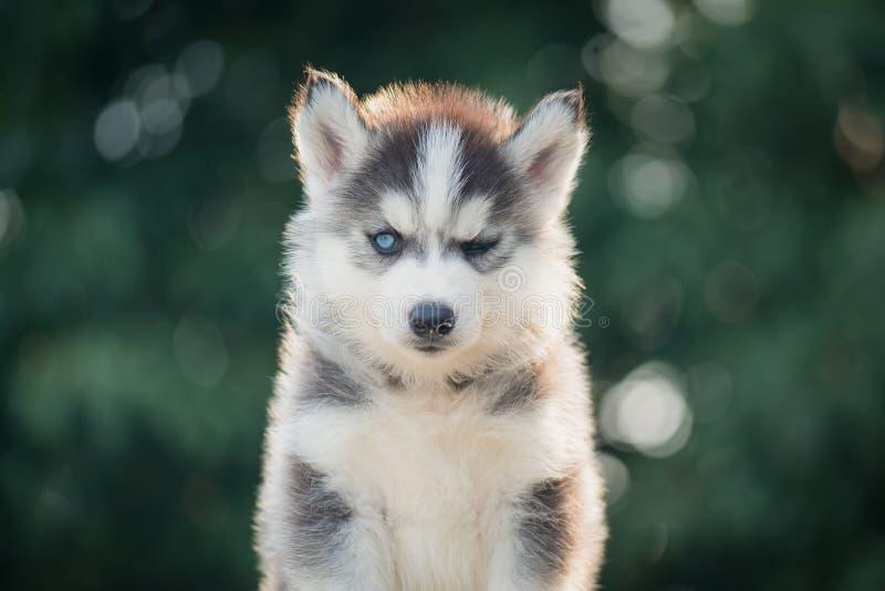 Olho fechado do cachorrinho do cão de puxar trenós Siberian um com o backgrou da luz solar do bokeh fotos de stock royalty free